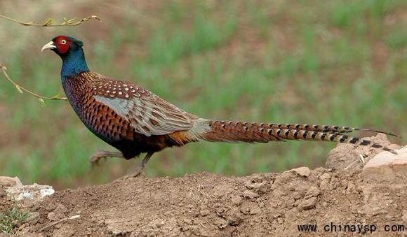 山鸡是不是保护动物