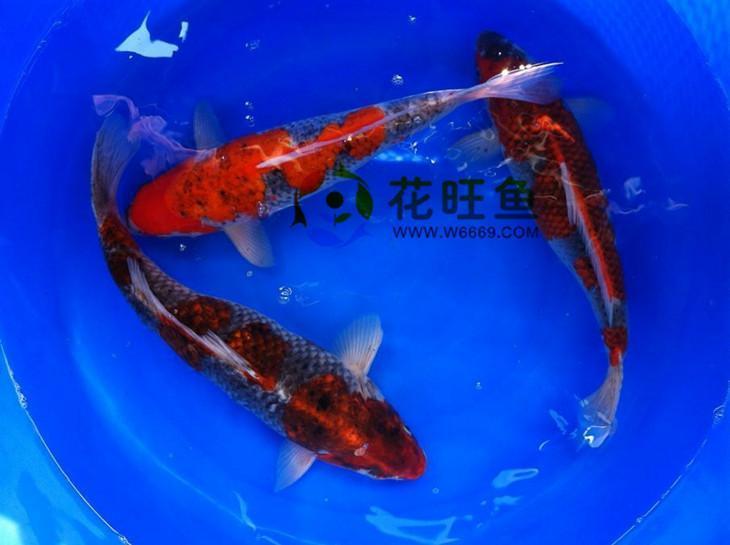 花边鱼价格及图片