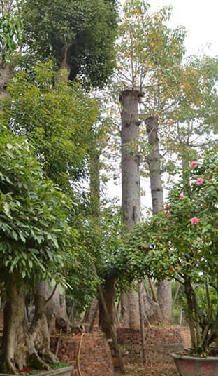 木棉树花落后长出长椭圆形的蒴果,成熟后果荚开裂,果中的棉絮随风飘落