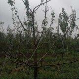 山東大櫻桃品種 大櫻桃樹苗批發 當年結果 3年豐產