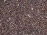 丹蔘種子  出苗率高     大量優質種子供應中