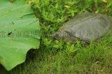 【河洲甲魚】溫州野生甲魚批發|中華鱉苗價格|生態甲魚養殖