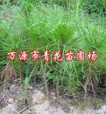 馬尾松容器/營養袋苗