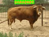 山東省賣小牛苗的地方在哪余