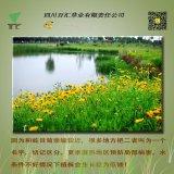 四川 種子 花種 金雞菊