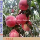 大量供應高質量映霜紅桃苗