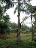 成都優質大王椰子,大王椰子4.5米最新農戶價