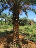 雲南精品中東海棗,漳州銀海棗哪余多,棕櫚科基地直銷