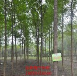 河南焦作種什麼綠化樹好