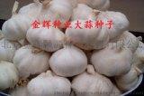 北京金輝大蒜種子批發