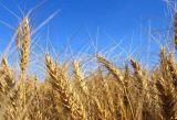 山東小麥種子廠家 山東小麥種子價格 山東小麥種子 博信供