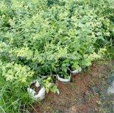 藍莓苗 山東藍莓苗 3年掛果 5年豐產