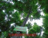 山東青島適合種什麼樹種