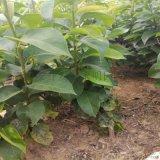 黃金梨樹苗基地 黃金梨樹苗幾年結果