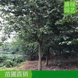 重慶12-15公分洋紫荊價錢優惠中,重慶洋紫荊袋苗