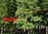 靖江2公分中山杉苗木價格