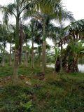 重慶大王椰子,大王椰子基地直銷,假檳榔供應商