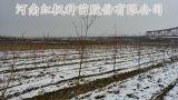 南陽彩葉絲棉木,河南彩葉絲棉木,紅楓種苗
