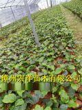 福建黃金百香果苗基地|種植黃金百香果畝產量高嗎