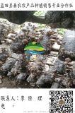藍田香菇接種菌批發|批發新鮮香菇口菇|哪余的新鮮香菇好|秦農合作社