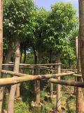 四川香樟樹價格,四川15公分香樟,四川香樟最新價格