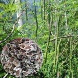 保山辣木籽種植基地雲南滿澤優質辣木種子 種植食用 育苗辣木苗