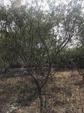海南高度3米脆桃樹質量好,海南嫁接脆桃樹價位低
