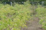 彩葉絲棉木特徵, 彩葉絲棉木種子, 紅楓種苗