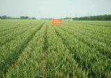 山農29高產小麥種 高產小麥種 高產小麥新品種 博信供