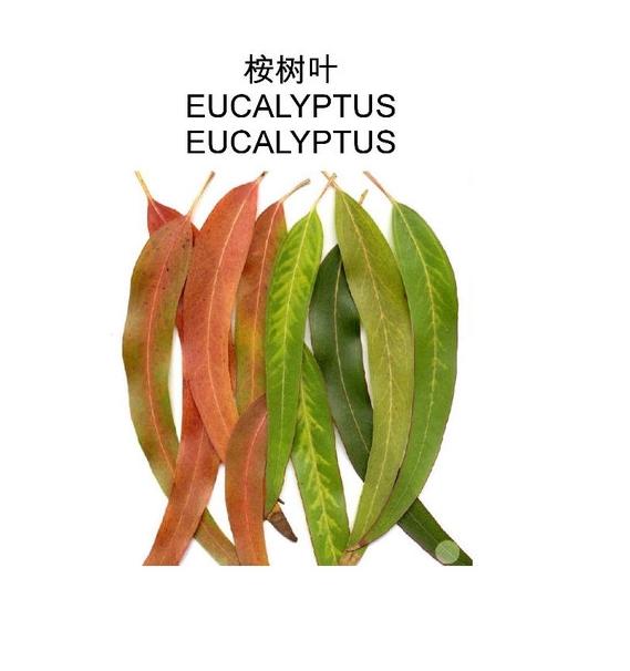 產品名稱:桉樹葉提取物英文名稱:EucalyptusLeafExtract提取來源:葉子提取溶劑:水-乙醇產品規格:10:1檢測方法:TLC外觀:棕色粉末【性狀】本品呈鐮刀狀披針形,長8-30cm,寬2-7cm;革質而厚;葉端尖,葉端尖,葉基不對稱,全緣;葉柄較短,長1-3cm,扁平而扭轉。表面黃綠色,光滑無毛,有多數紅棕色木栓斑點,對光透視,可見無數透明小點(油室)。羽狀網脈,側脈末端於葉緣處連合,形成與葉緣相平行的脈紋。揉之微有香氣,味稍苦而涼。以葉大、完整、梗少、無雜質者爲佳。【性味】味辛;苦;性寒