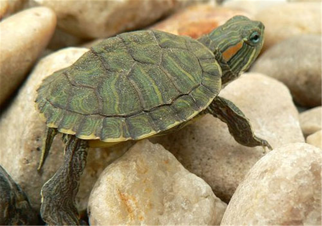 动物 龟 1071_750