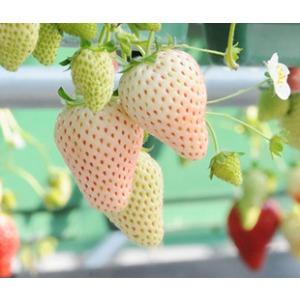 菠萝莓简笔画图片