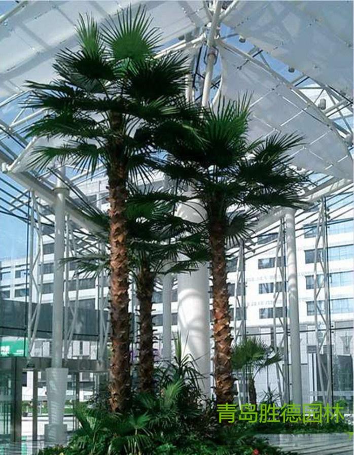 青岛胜德专业定制各种棕榈树椰子树海枣树
