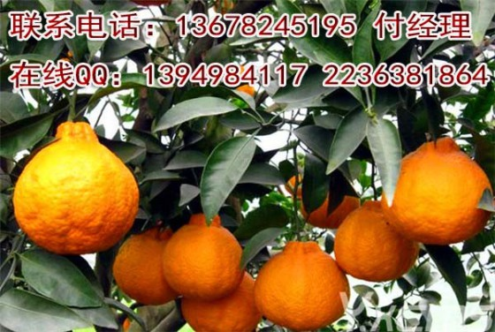 四川柑橘苗,柑橘新品种